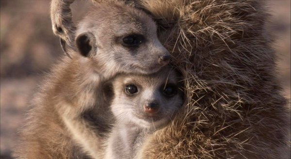 Школьника хотят казнить за убийство беременного суриката в зоопарке Венгрии