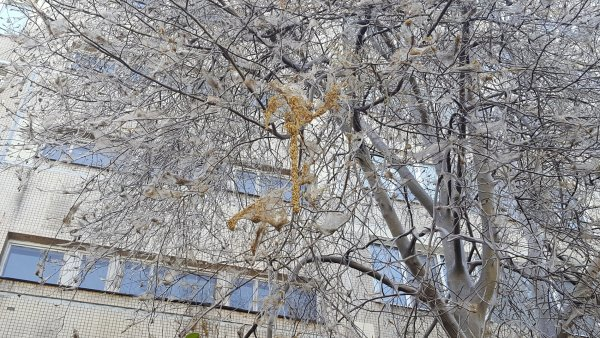 Нашествие гусениц в Петербурге: Листву на деревьях объедают за сутки