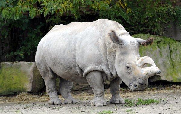Генетики решили клонировать северного белого носорога