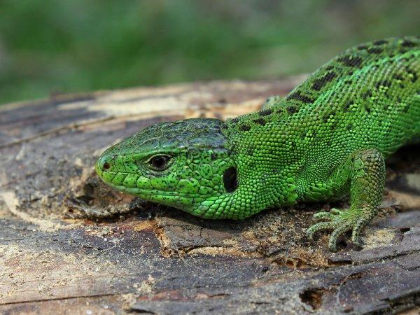 Ученые: Предки ящерицы появились на 70 миллионов лет раньше
