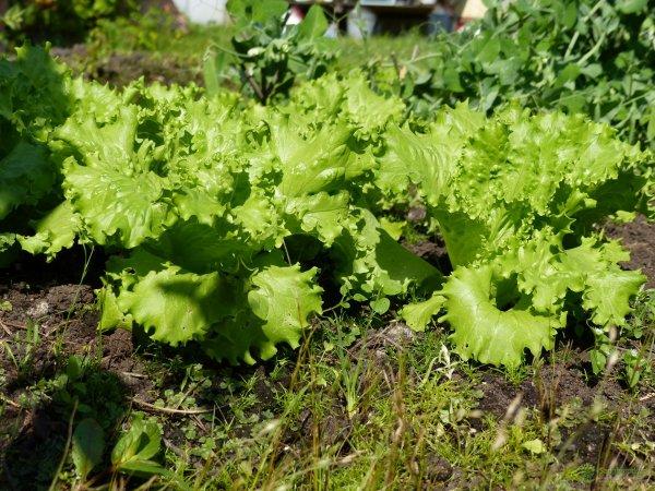В США 5 человек погибли из-за зараженного салата-латука