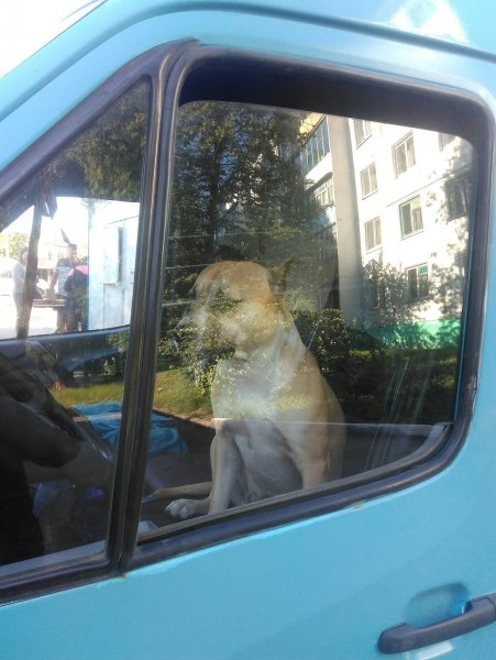 Собака за рулем маршрутки насмешила жителей Брянска