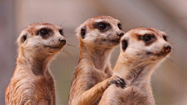 Учёные объяснили одновременные роды у самок мангустов