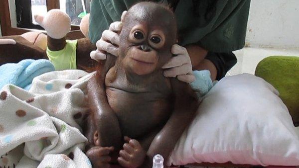В Новосибирске нейрохирург спас детеныша орангутанга
