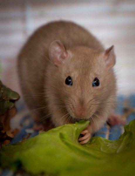 Полчища огромных крыс атаковали петербуржцев у метро «Рыбацкое»
