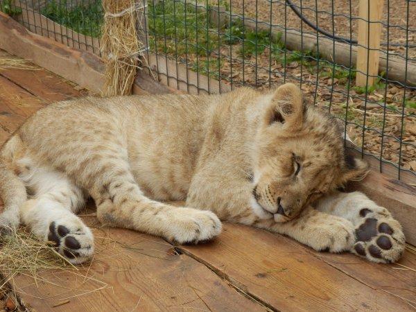 Найденного в промзоне на юге Москвы льва передадут в Абаканский зоопарк