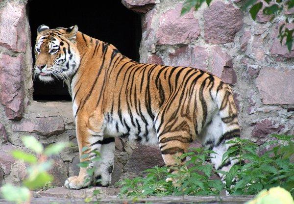 Приморский тигр Сайхан на воле съел первого волка