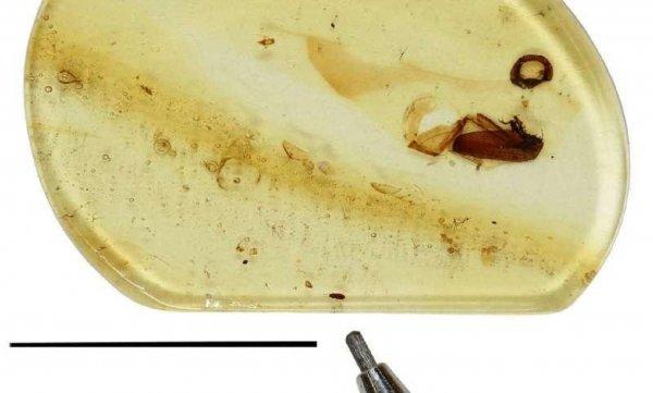 Ученые обнаружили в янтаре жука времен динозавров