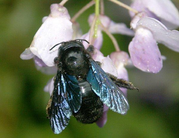 Жители Новосибирской области испугались синих пчел