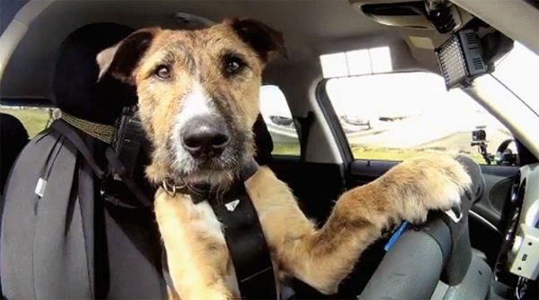 Жители Ростова высмеяли водителя, недовольного нарушающими ПДД собаками
