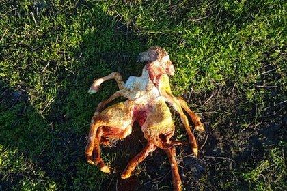 В Австралии на свет появился ягненок-мутант с двумя телами