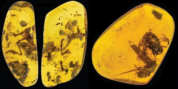 Ученые наткнулись на древнюю лягушку, застывшую в янтаре