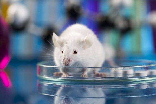 Генетики «заставили» лабораторную мышь поменять пол