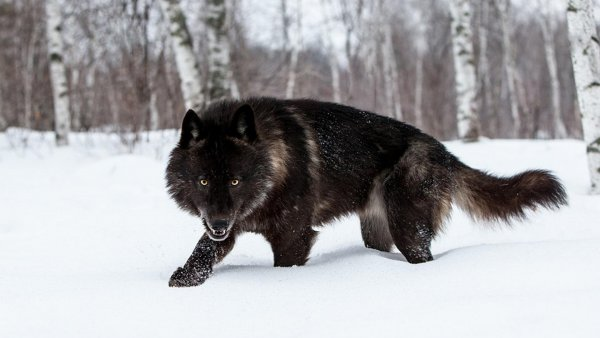 На видео попало волкоподобное существо, атакующее собаку