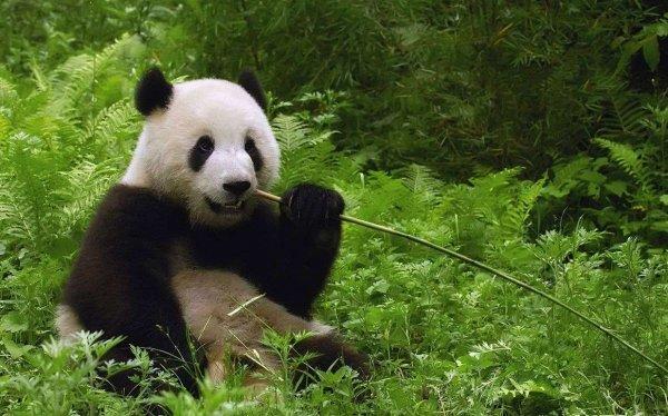ДНК вымершей панды «открыло» новый вид этих животных