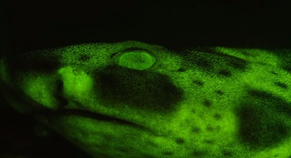 В Калифорнии нашли светящихся зеленым светом акул