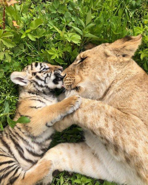 Щенок, львица и тигрица стали подругами маленькому тигренку в зоопарке Владивостока