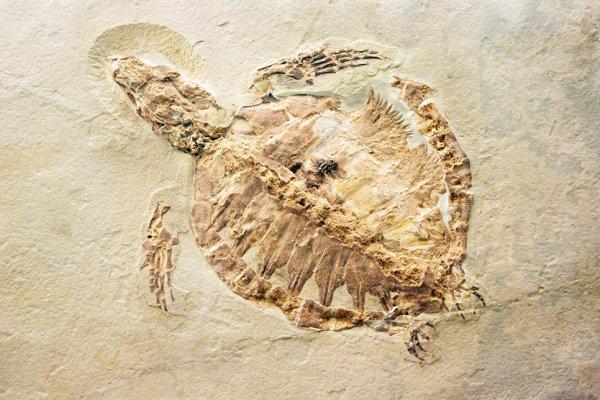 В Китае фермер обнаружил окаменелые останки черепахи юрского периода