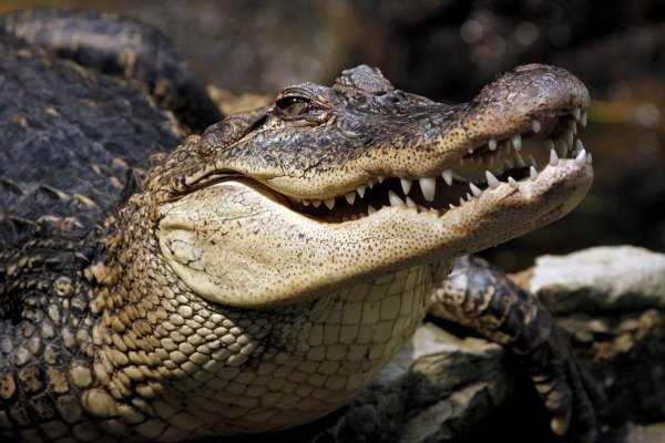 Ученые тестируют крокодилов, чтобы узнать о способностях древних ящеров