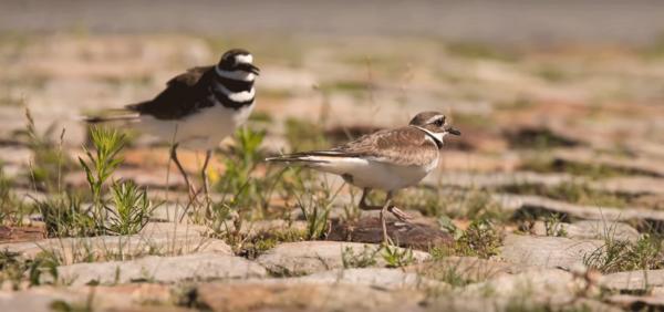 В Канаде редкая птица сорвала подготовку к музыкальному фестивалю