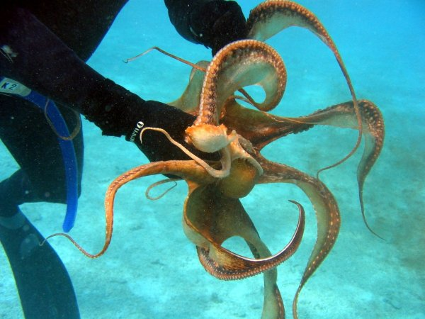 Самый ленивый осьминог в мире поселился на Гавайях