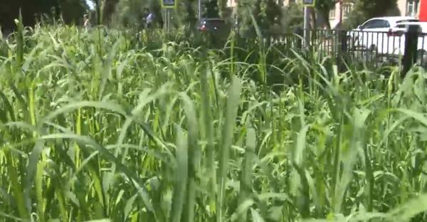 Жителей Саратова удивил газон-мутант на бульваре по улице Рахова