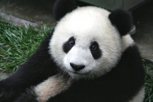 В Китае панда родила детенышей-близнецов