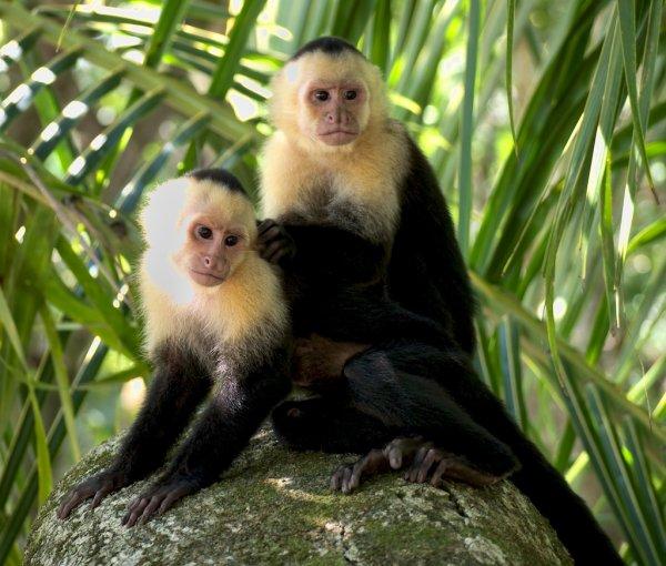 В Панаме обезьяны эволюционировали и начали создавать орудия труда