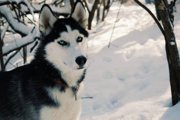 Учёные узнали, что древние индейцы завезли собак из Сибири