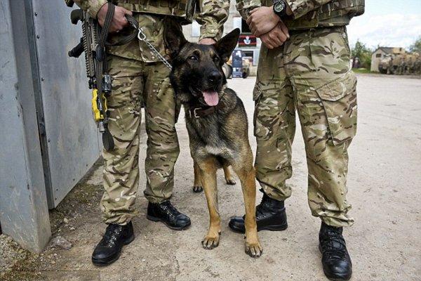 Собака-герой спасает шесть спецназовцев британского подразделения SAS в Сирии
