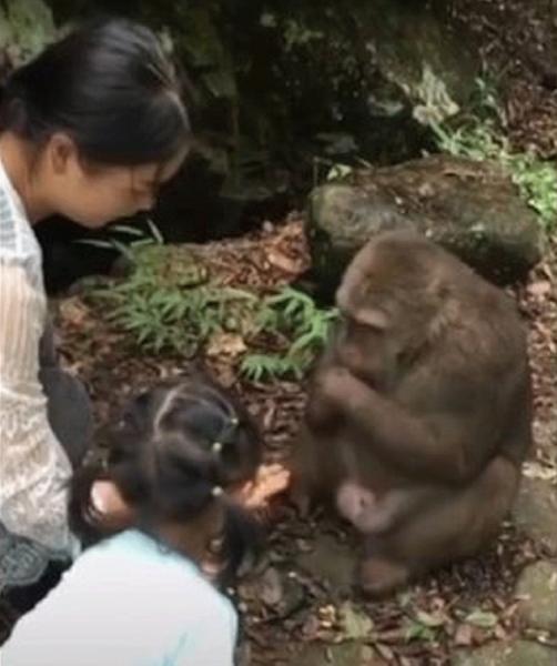 В зоопарке Китая обезьяна отправила в нокаут маленькую девочку