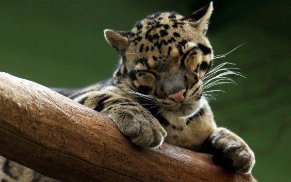 Во Владивостоке котенка леопарда вскармливает кокер-спаниель