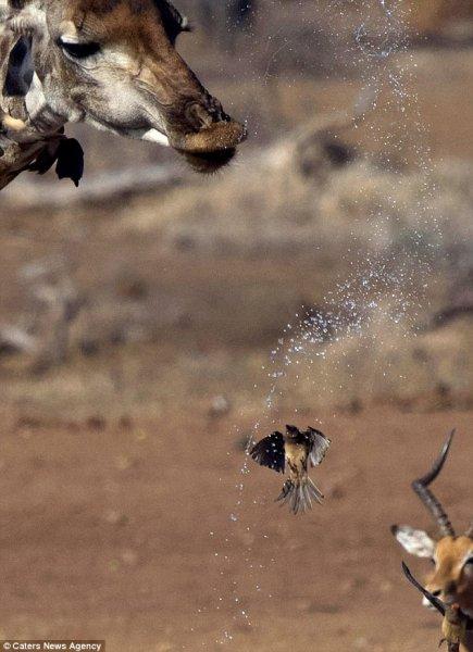 В Южной Африке жираф устроил душ для пролетавшей мимо птицы