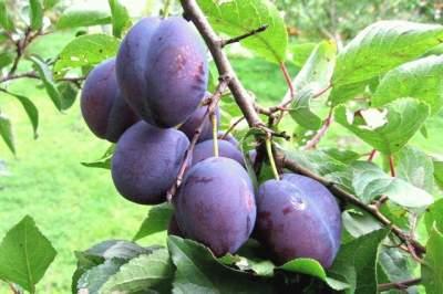 Назван лучший фрукт для профилактики онкозаболеваний