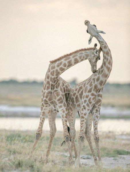 Любовь двух жирафов в Намибии вызвала фурор в Сети
