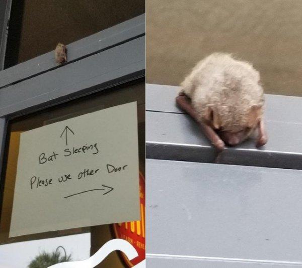 Спящая летучая мышь над дверью магазина умилила Сеть