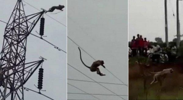 Смертельно опасный прыжок обезьяны с ЛЭП попал на видео