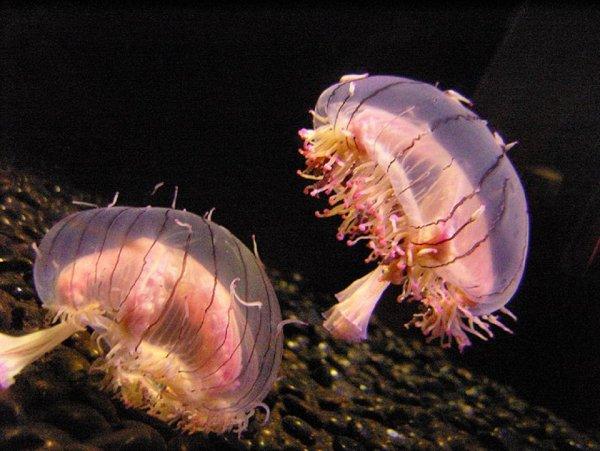 В Италии туристы жалуются на нашествие ядовитых медуз