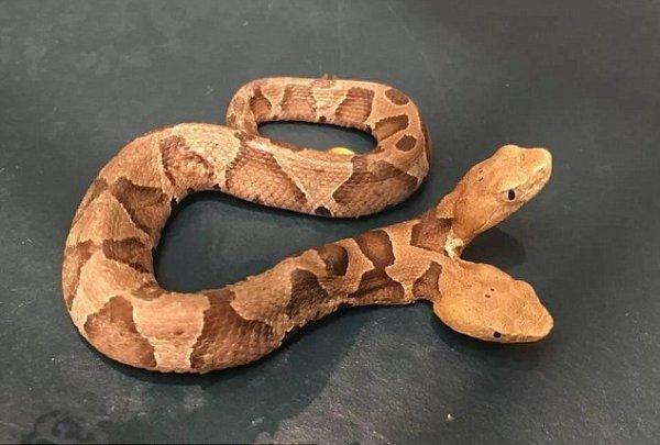 Одно тело, две головы: Редкую ядовитую змею обнаружили жители США - герпетолог