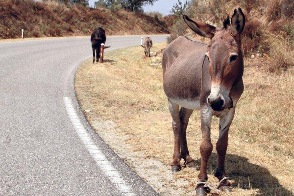 Толстым туристам запретили ездить на ослах в Греции