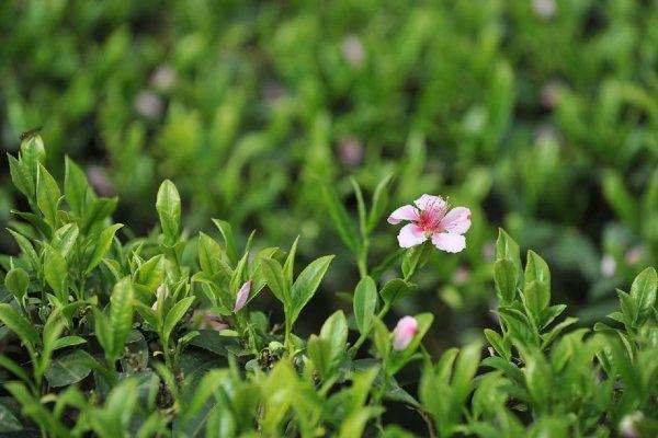 Американец принимал биодобавки с зеленым чаем и остался без печени