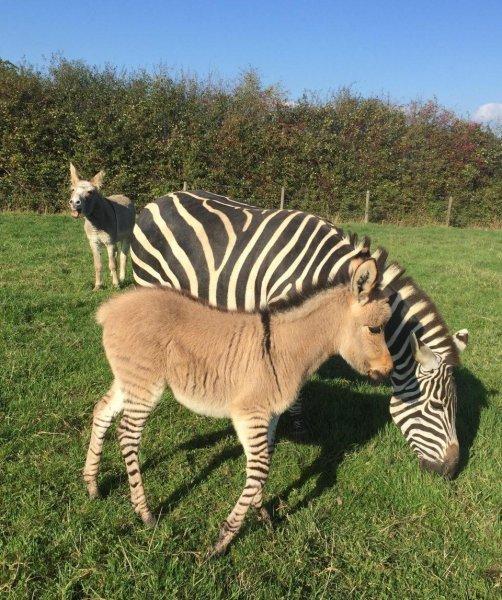 В полосатых гетрах: Гибрид осла и зебры поразил Сеть