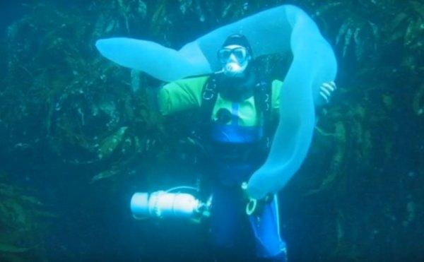 Водолазы обнаружили восьмиметровый «морской огурец» у берегов Новой Зеландии