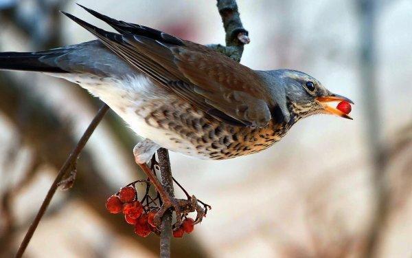 Жители города Гилберт: «пьяные» птицы ведут себя неадекватно