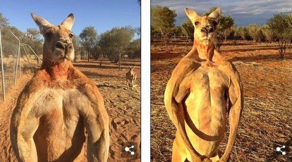 В Австралии умер мускулистый кенгуру, который был звездой Сети