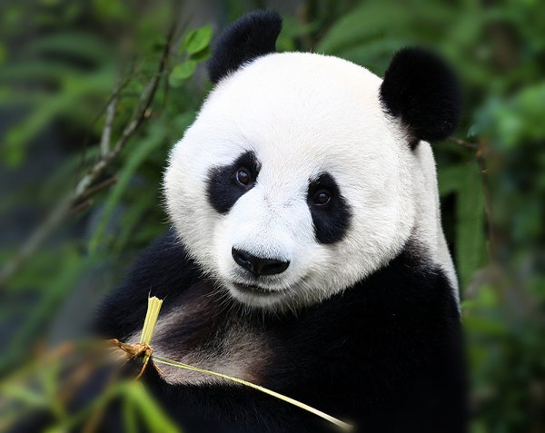 В зоопарке Эдинбурга штрафуют людей, которые отвлекли панд от спаривания