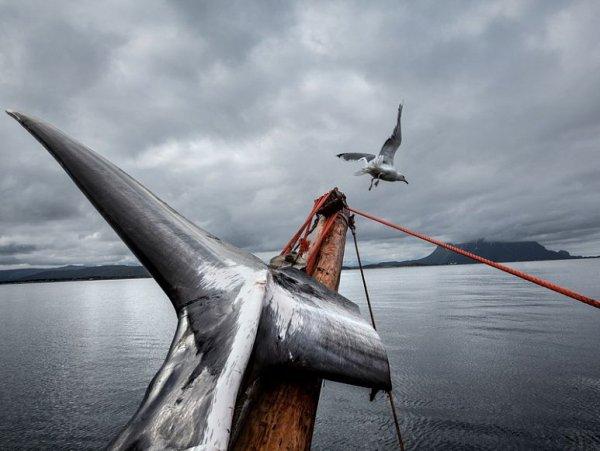 Популяция китов-полосатиков стремительно уничтожается китобоями Норвегии