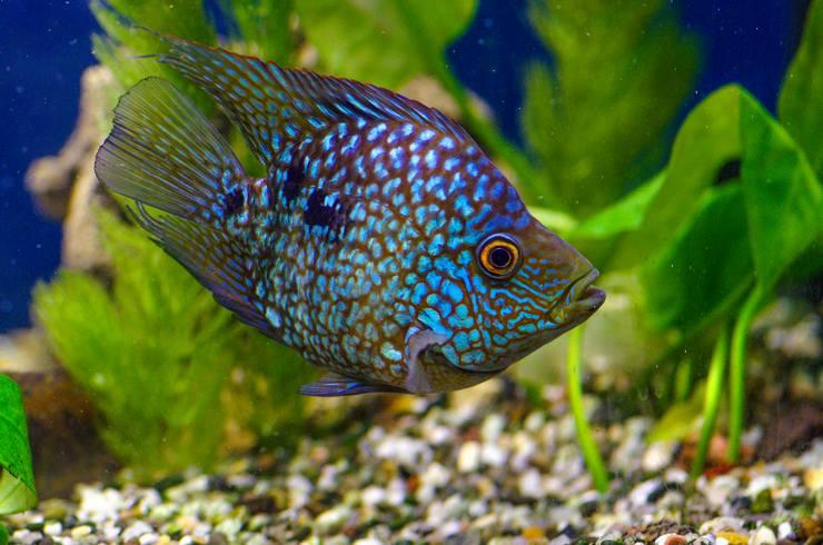 Условия обитания в аквариуме Цихлазомы бриллиантовой